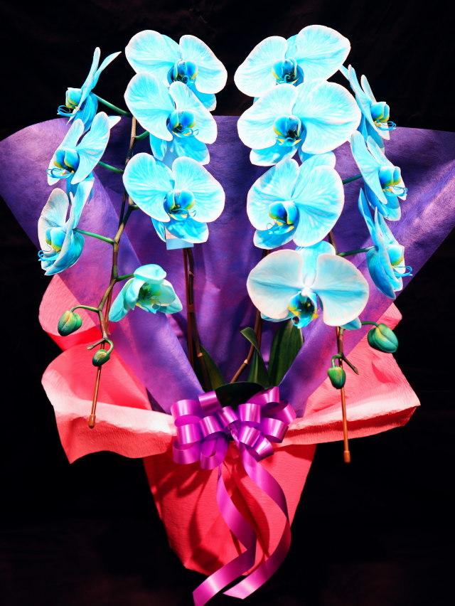 blue-ran002 胡蝶蘭 ブルー