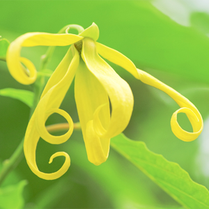 Phytofrance Ylang ylang [イランイラン] - 画像2