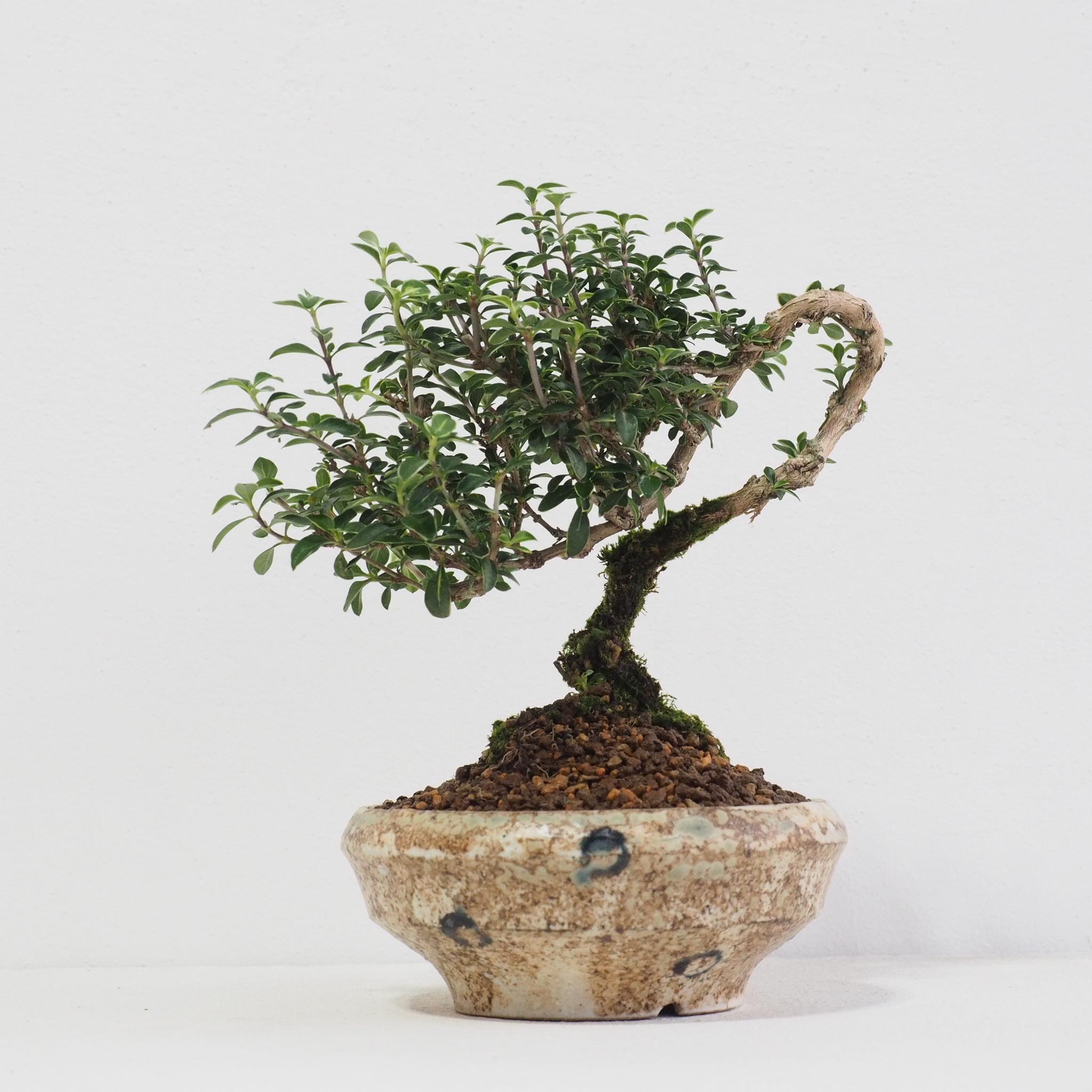 白丁花  盆栽  [B103]