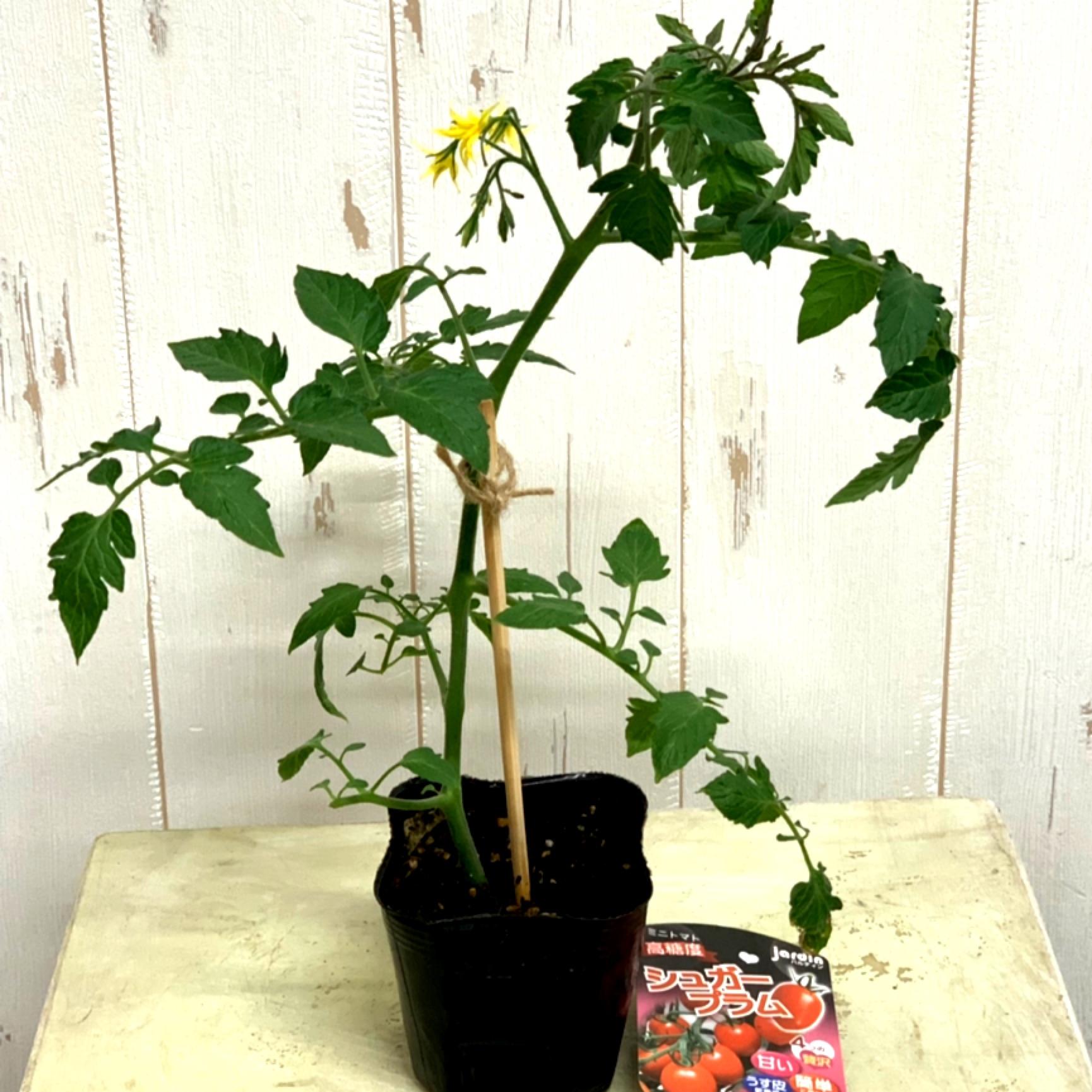むちゃくちゃ甘いミニトマトシュガープラム苗 - 画像1