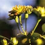グリーンローズ[Green Rose]#8