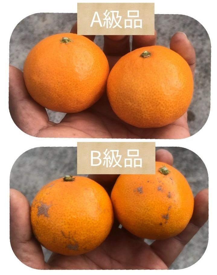 【B級品/5kg】昭和レトロ 高根島みかん(化学農薬・化学肥料不使用)