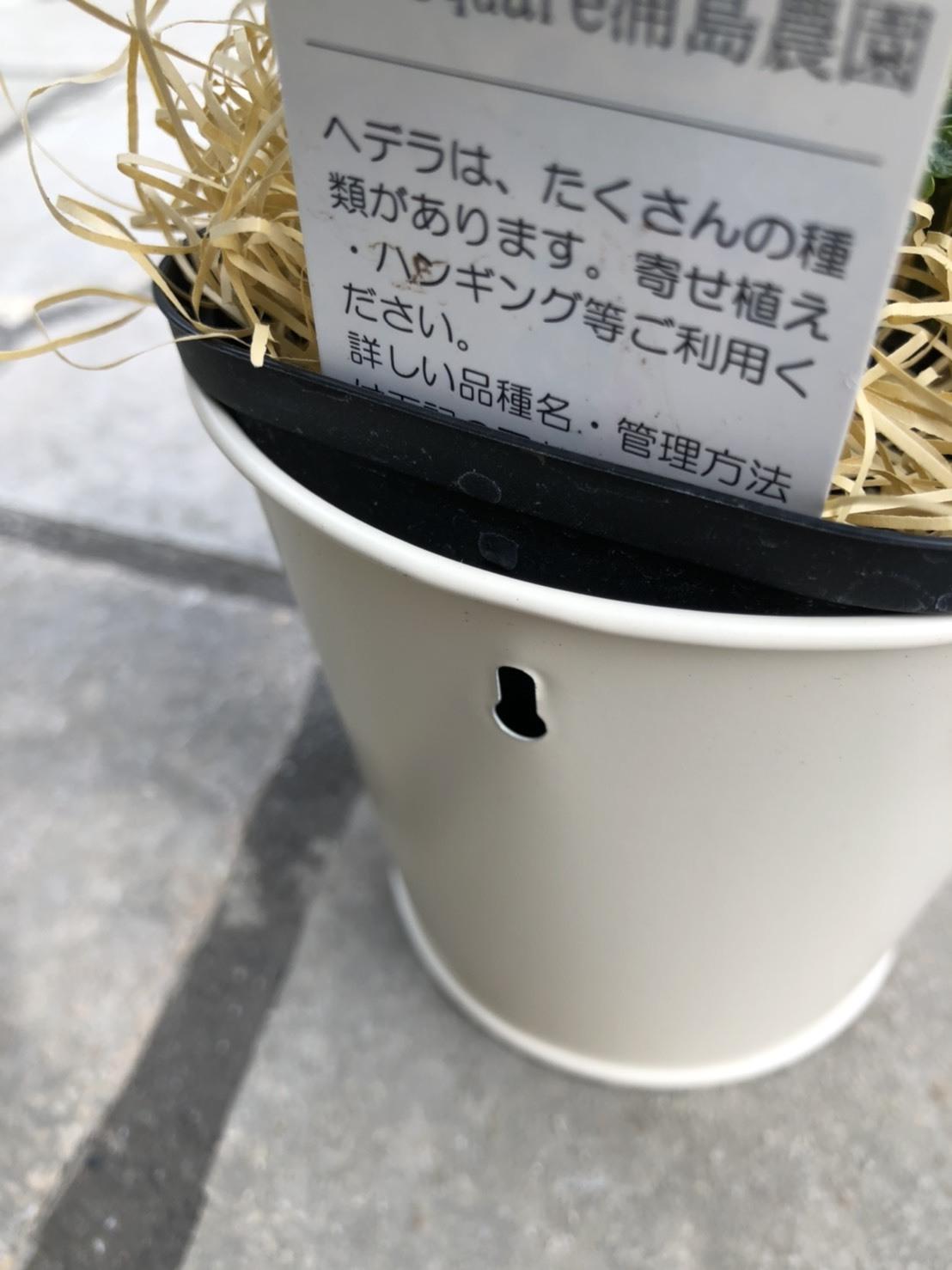 ヘデラヘリックス 翠雲 猫ちゃんポット