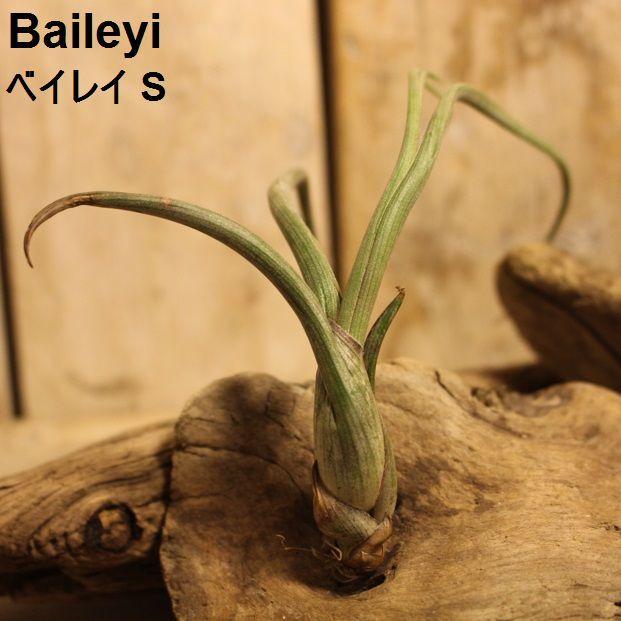 エアプランツ Baileyi S