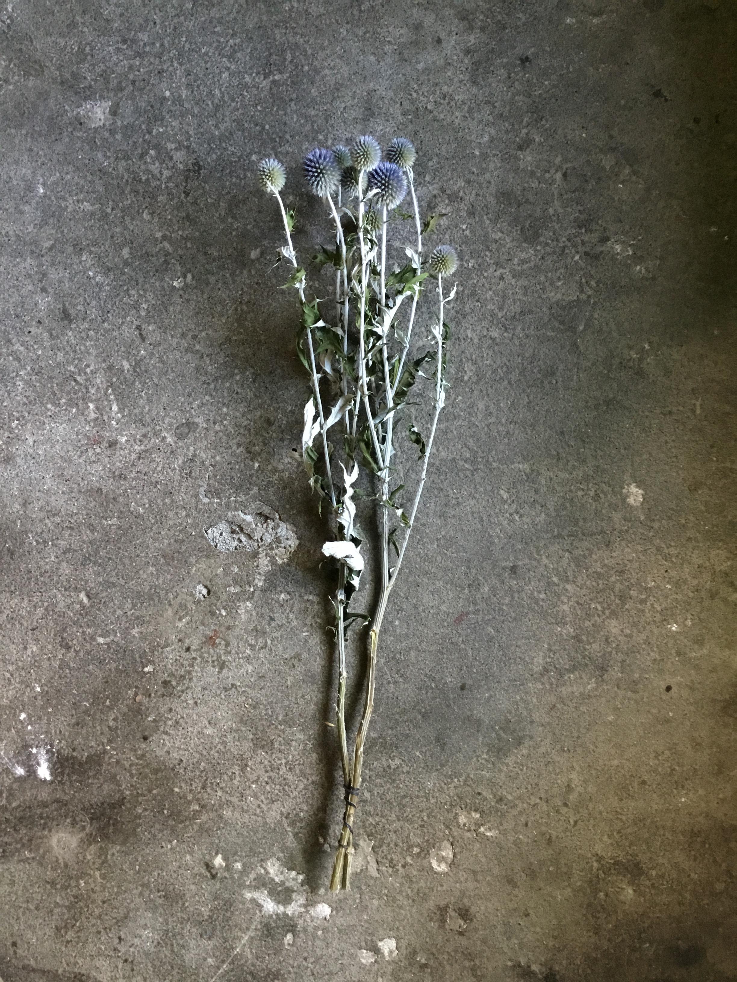 ルリタマアザミ ベッチーズブルー ドライフラワー