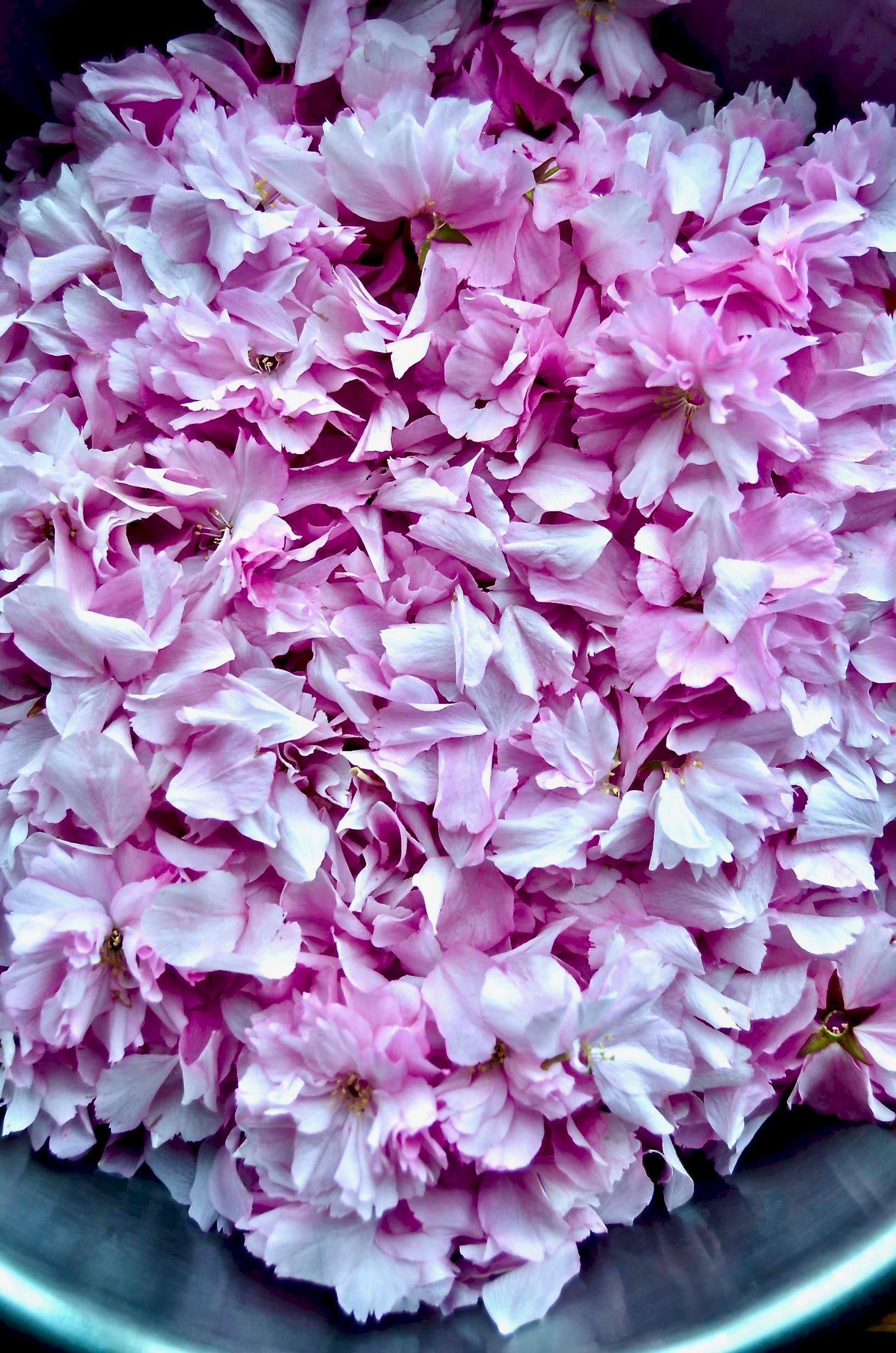 【八重桜の花びらの乳酸発酵】