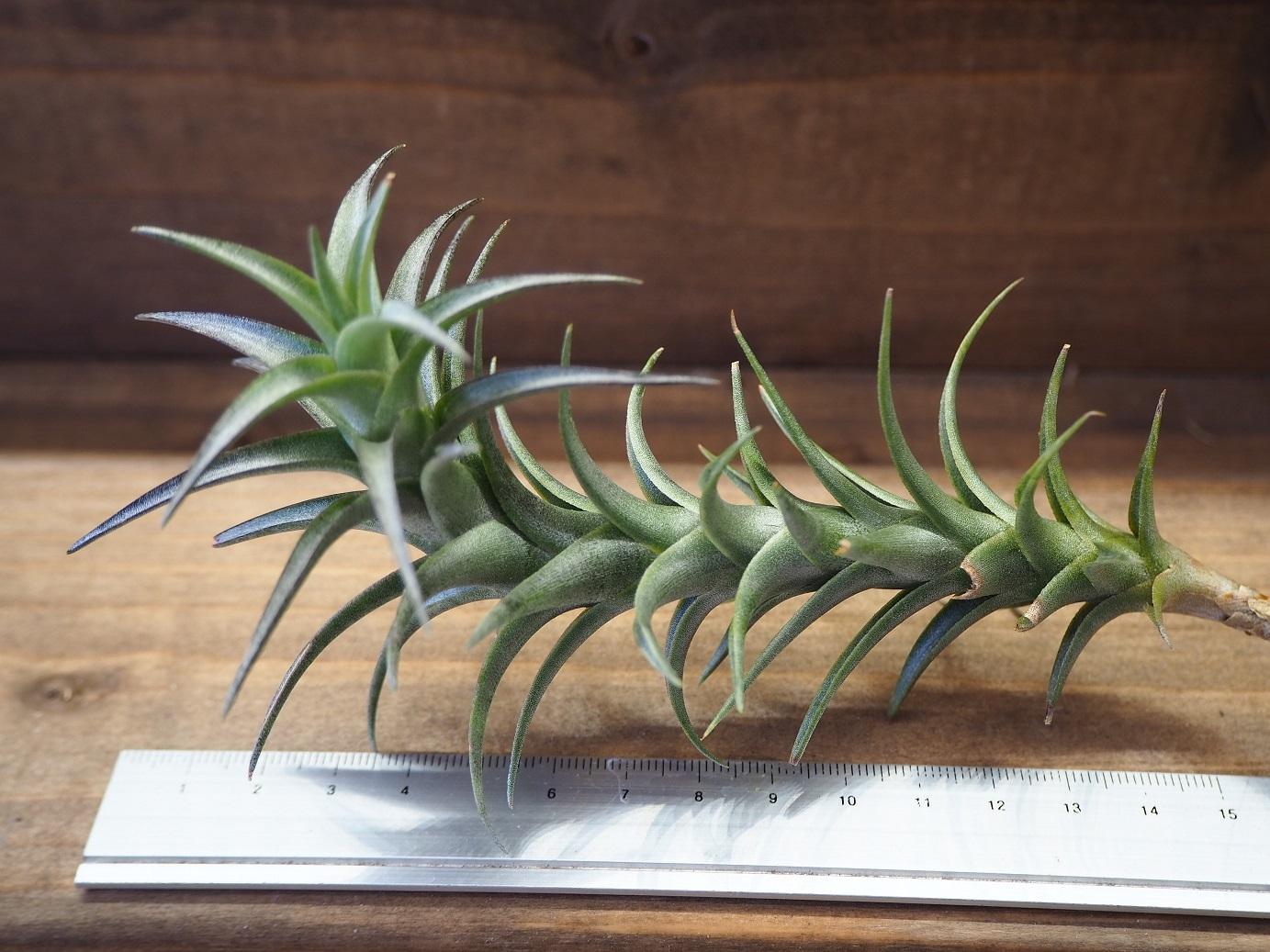 チランジア / ラティフォリア エナノレッド (T.latifolia 'Enano REd')