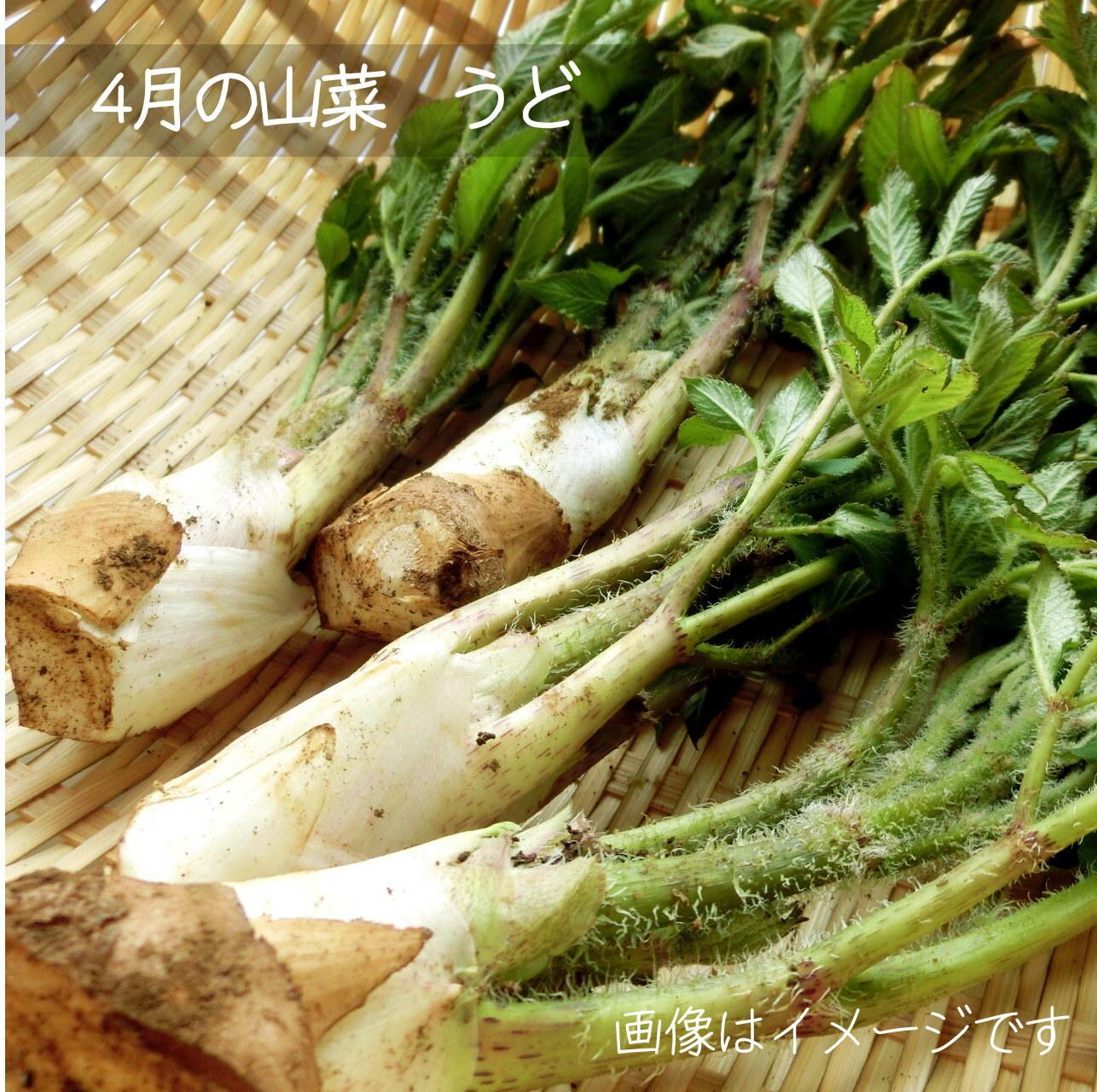 ウド 山菜 4月の朝採り直売野菜 4月27日発送予定