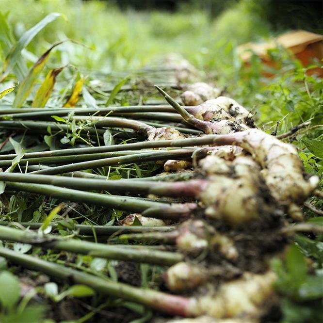 自然栽培 土佐一 新生姜1kg 土付き(11月3日前後以降の発送予定です)