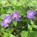蔓日々草(つるにちにちそう)『霊的に生きる』