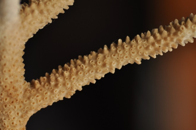 FRANCE珊瑚1
