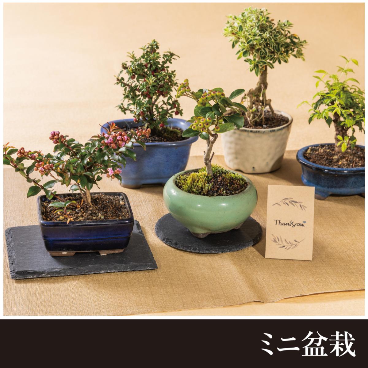【敬老の日限定販売】ミニ盆栽