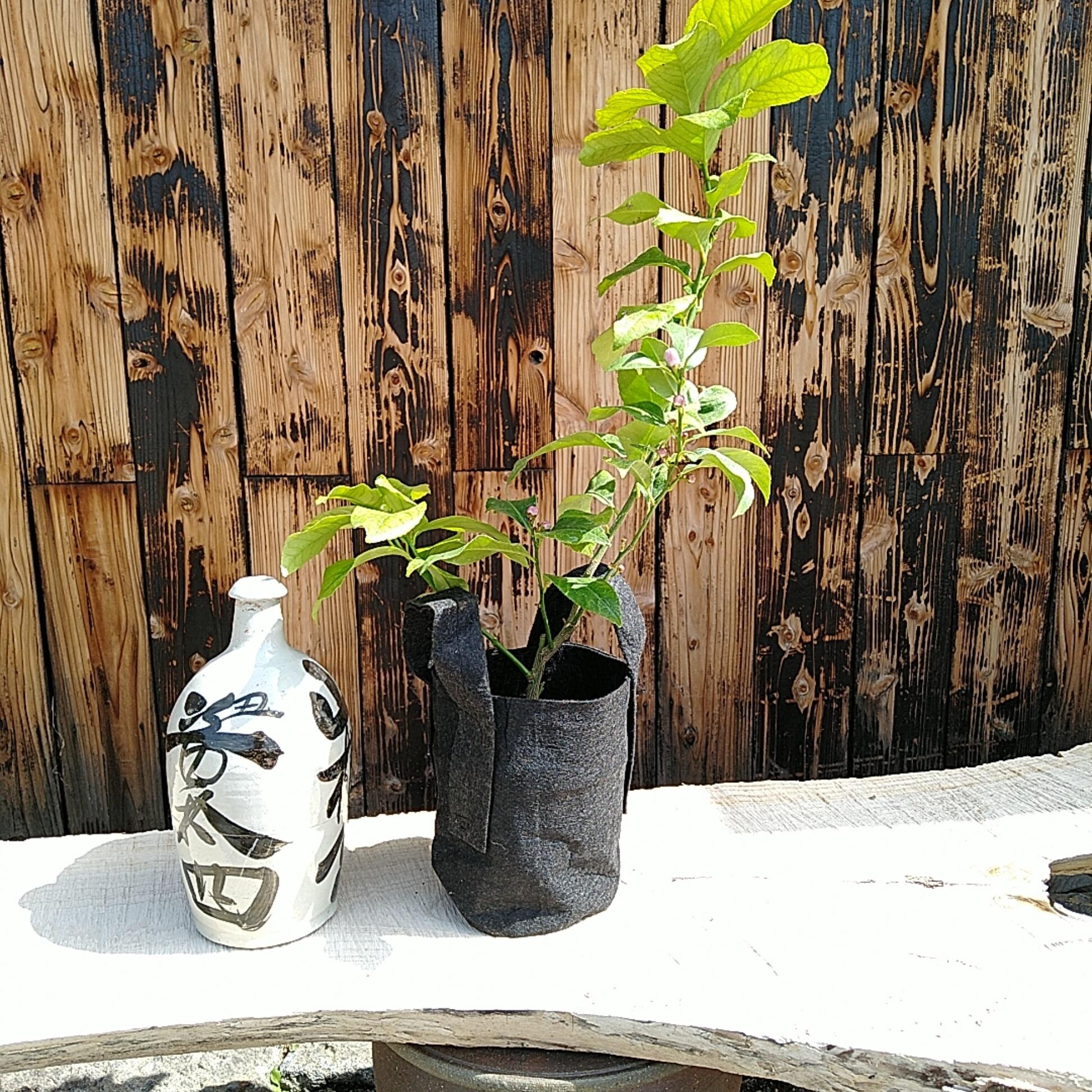 食べられる鉢植え レモン