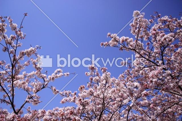 写真素材:春の桜007 - 画像1