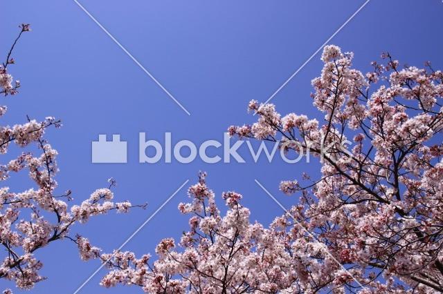 写真素材:春の桜006 - 画像1