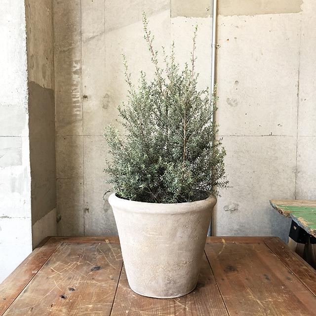 【庭木】ホワイトティーツリー(オーストラリア原産)