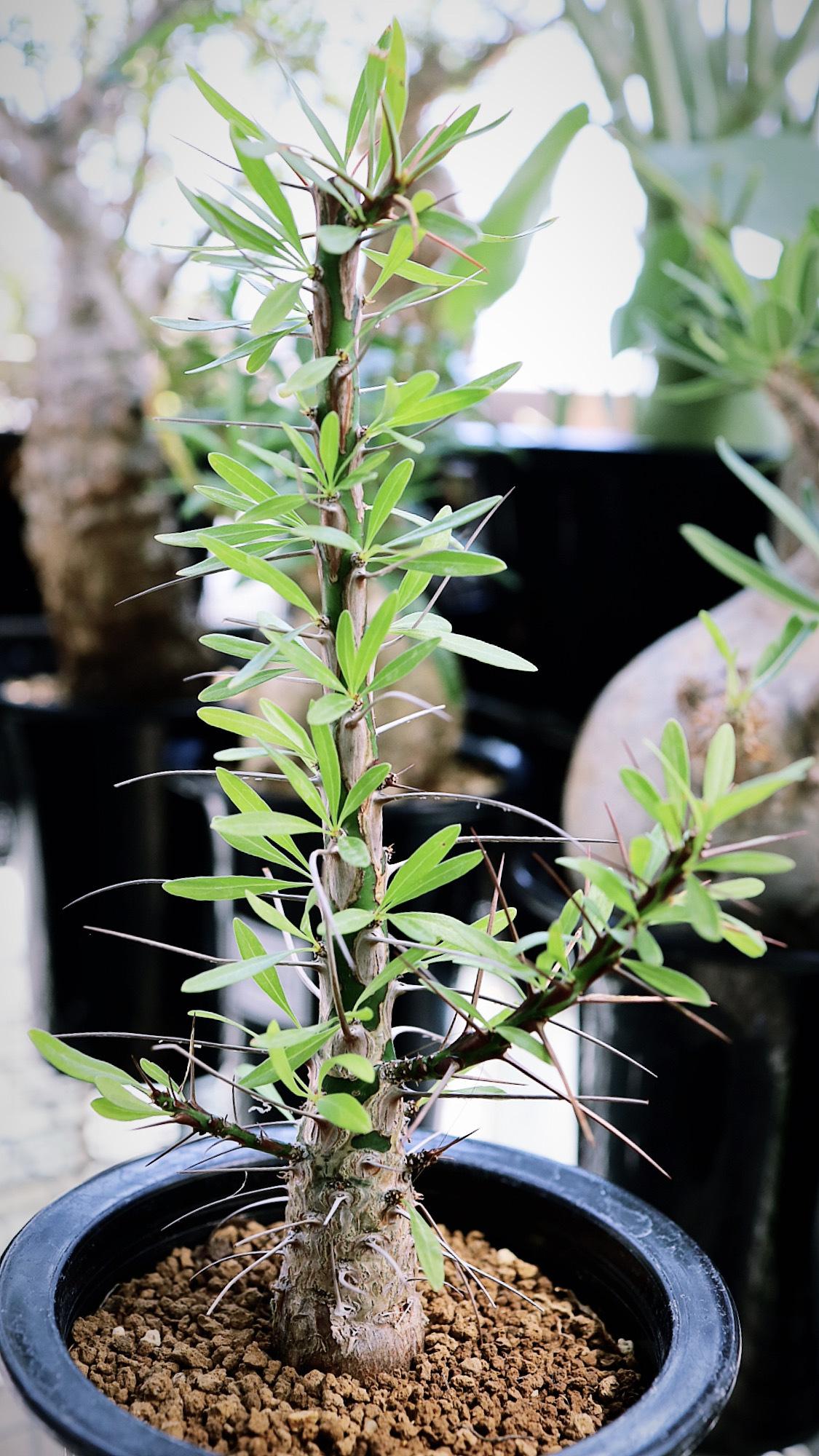 フォークイエリア・プルプシー | Fouquieria purpusii _004