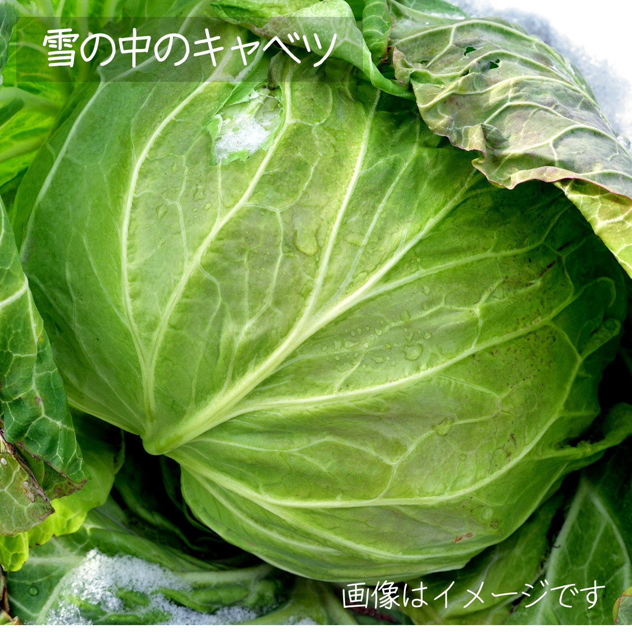 5月の朝採り直売野菜 キャベツ 1個 春の新鮮野菜 5月2日発送予定