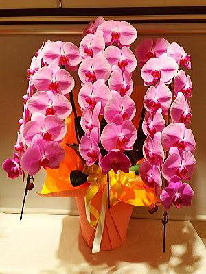 ran022 胡蝶蘭 ピンク
