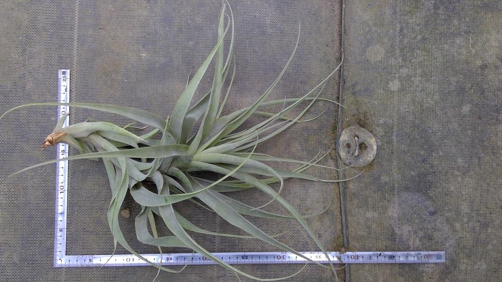 35.ラティフォリア アナコンダL(チランジア)