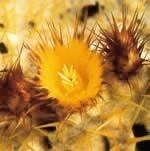 ゴールデンバレルカクタス[Golden Barrel Cactus]