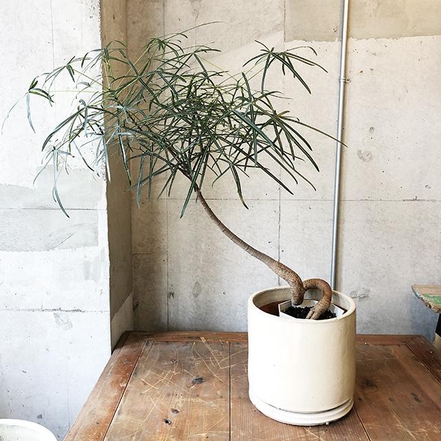 【観葉植物】ボトルツリー(ブラキキトン)
