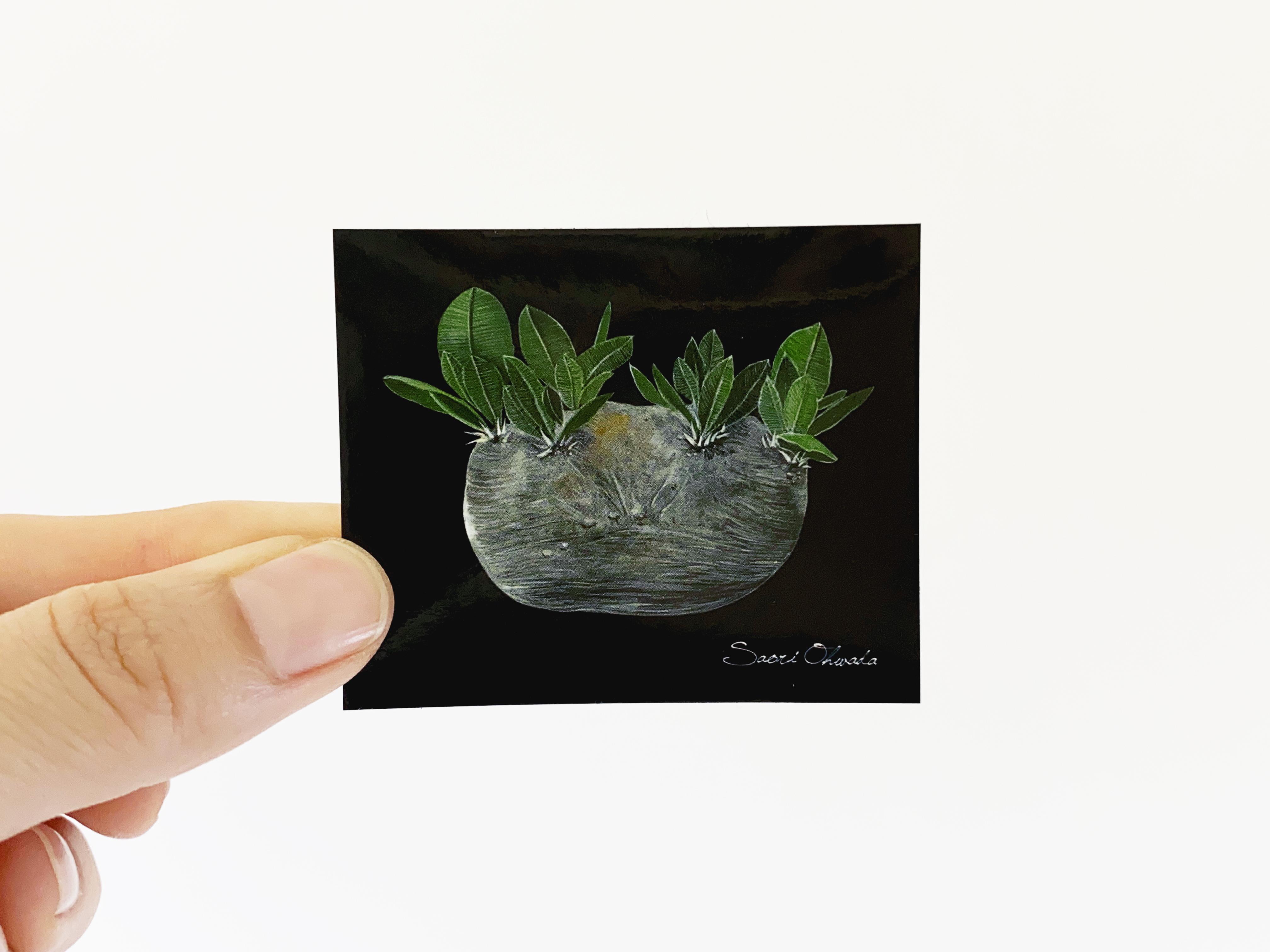 Pachypodium brevicaule ステッカー
