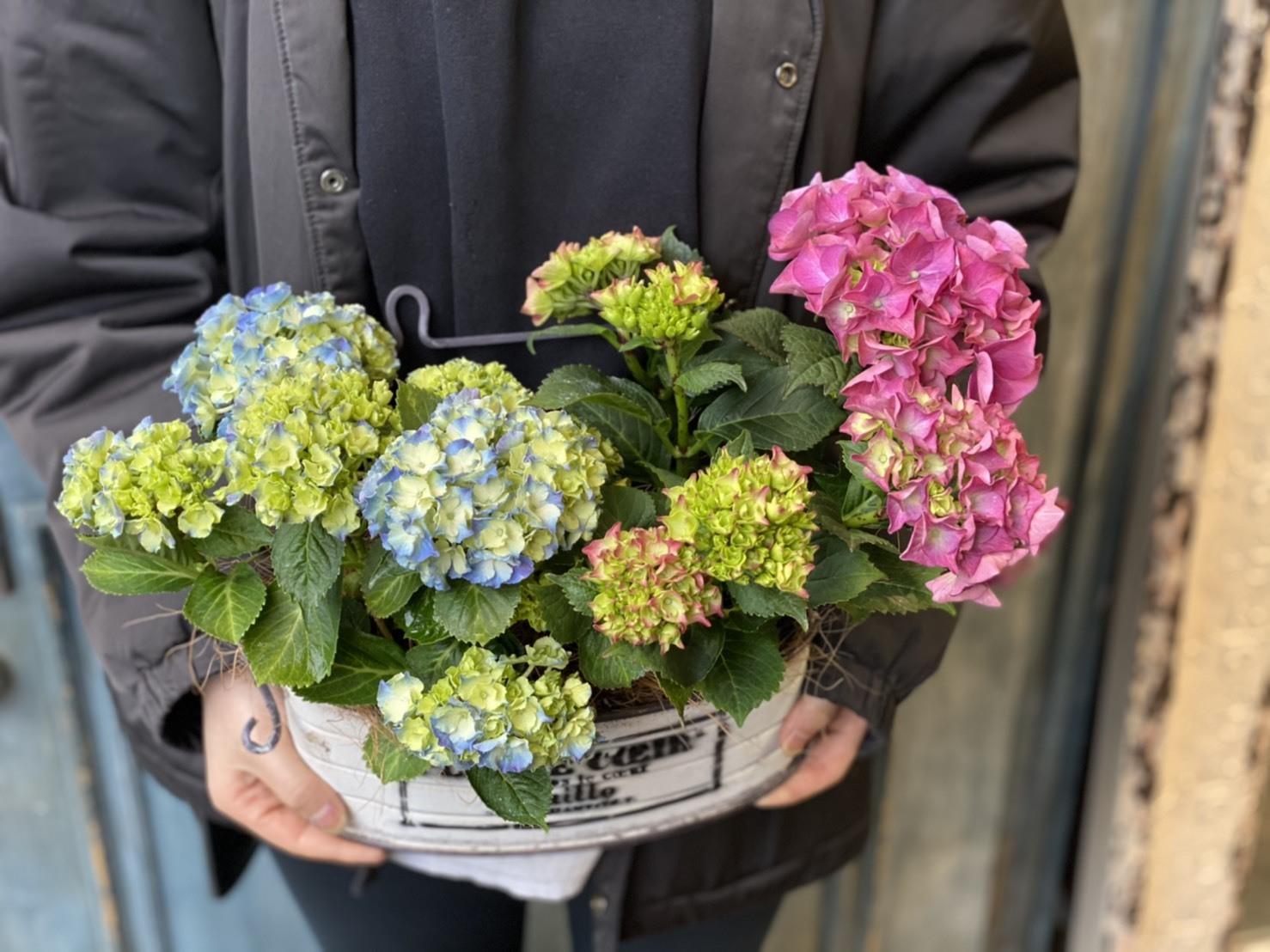 【母の日ギフト】ピンクとブルー紫陽花