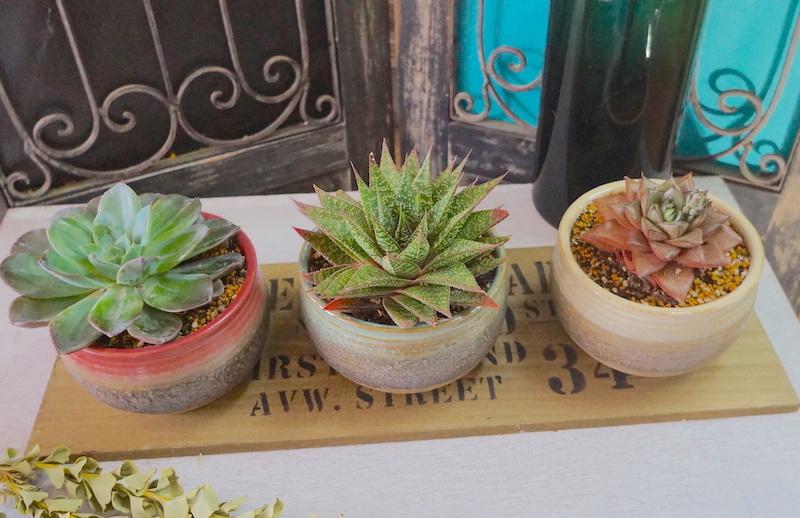 多肉植物陶器付き3個セット(完売ありがとうございました)