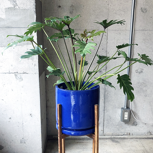 【観葉植物】クッカバラ(フィロデンドロン・クッカバラ)