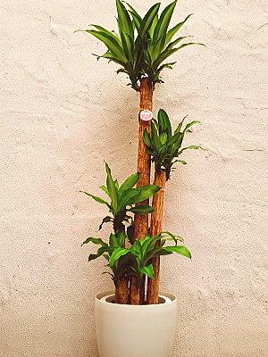 ht002 観葉植物 幸福の木 マッサン