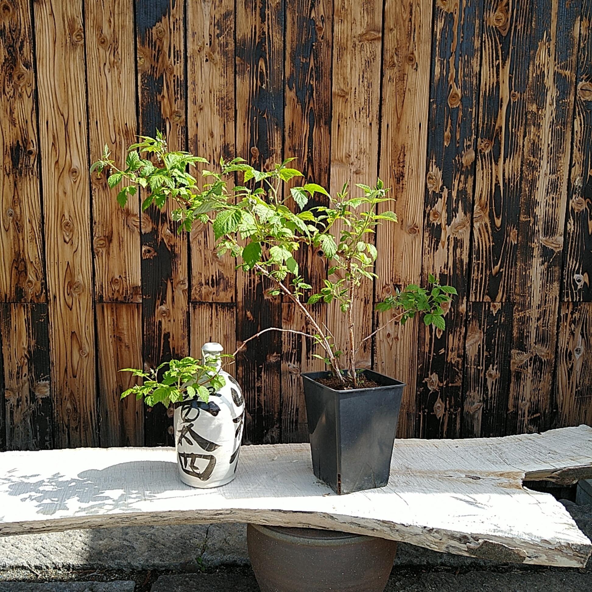 食べられる鉢植え ラズベリー