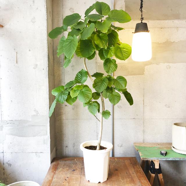 【観葉植物】フィカス・ウンベラータ(店舗直接配送商品・全国配送不可)