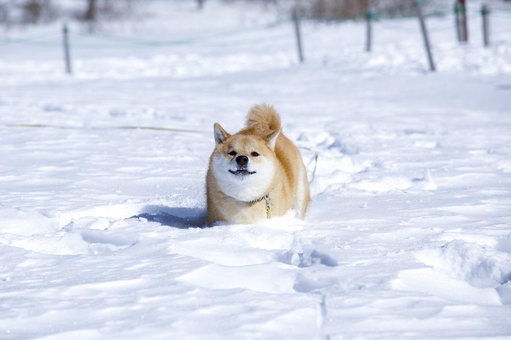 雪道と柴犬