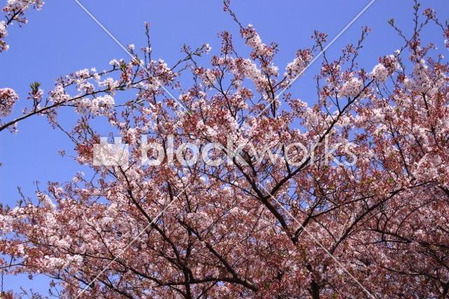 写真素材:春の桜005 - 画像1