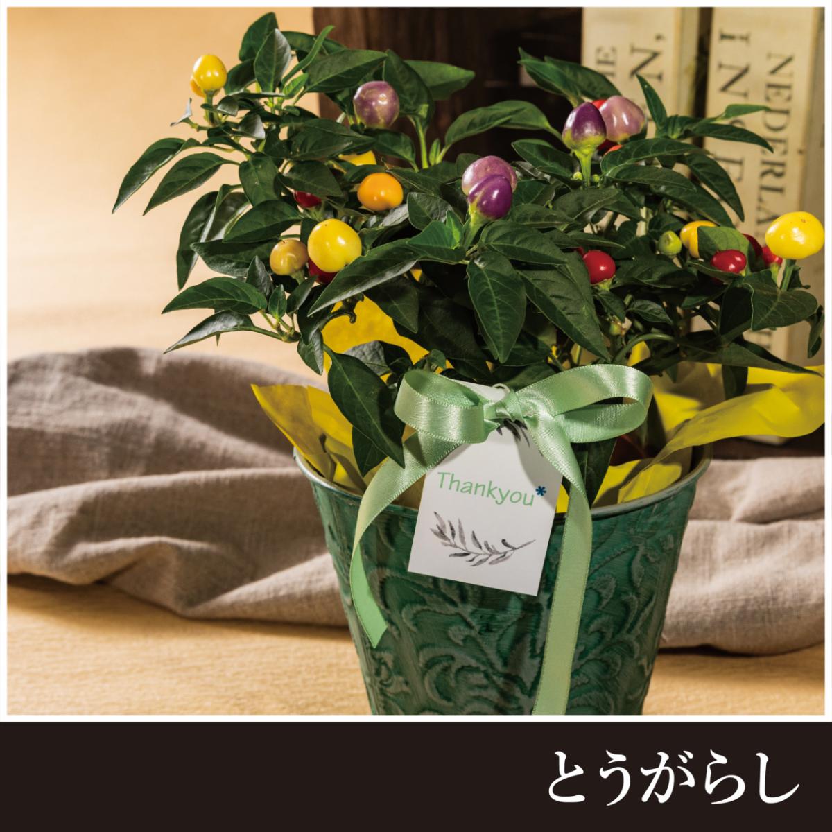 【父の日限定】ブルーベリー鉢植え