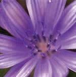 チコリー[Chicory]#8