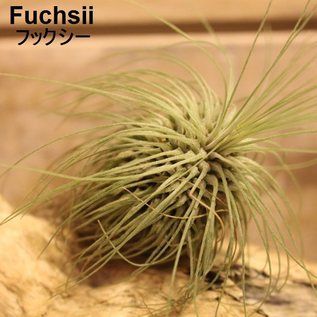 エアプランツ Fuchsii