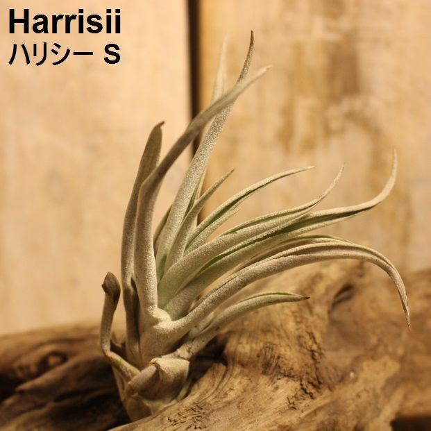 エアプランツ Harrisii S
