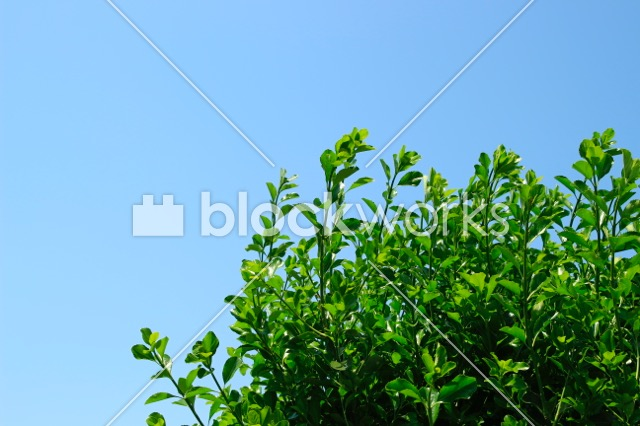写真素材:夏の木002 - 画像1