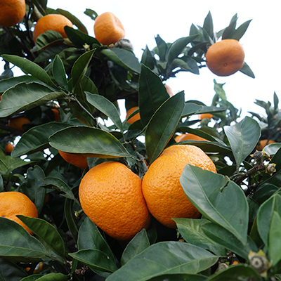 [季節限定] 小田原産 低農薬みかん 9kg