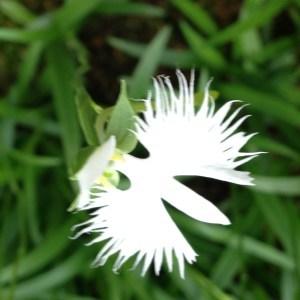 鷺草(さぎそう)『霊性を高める』