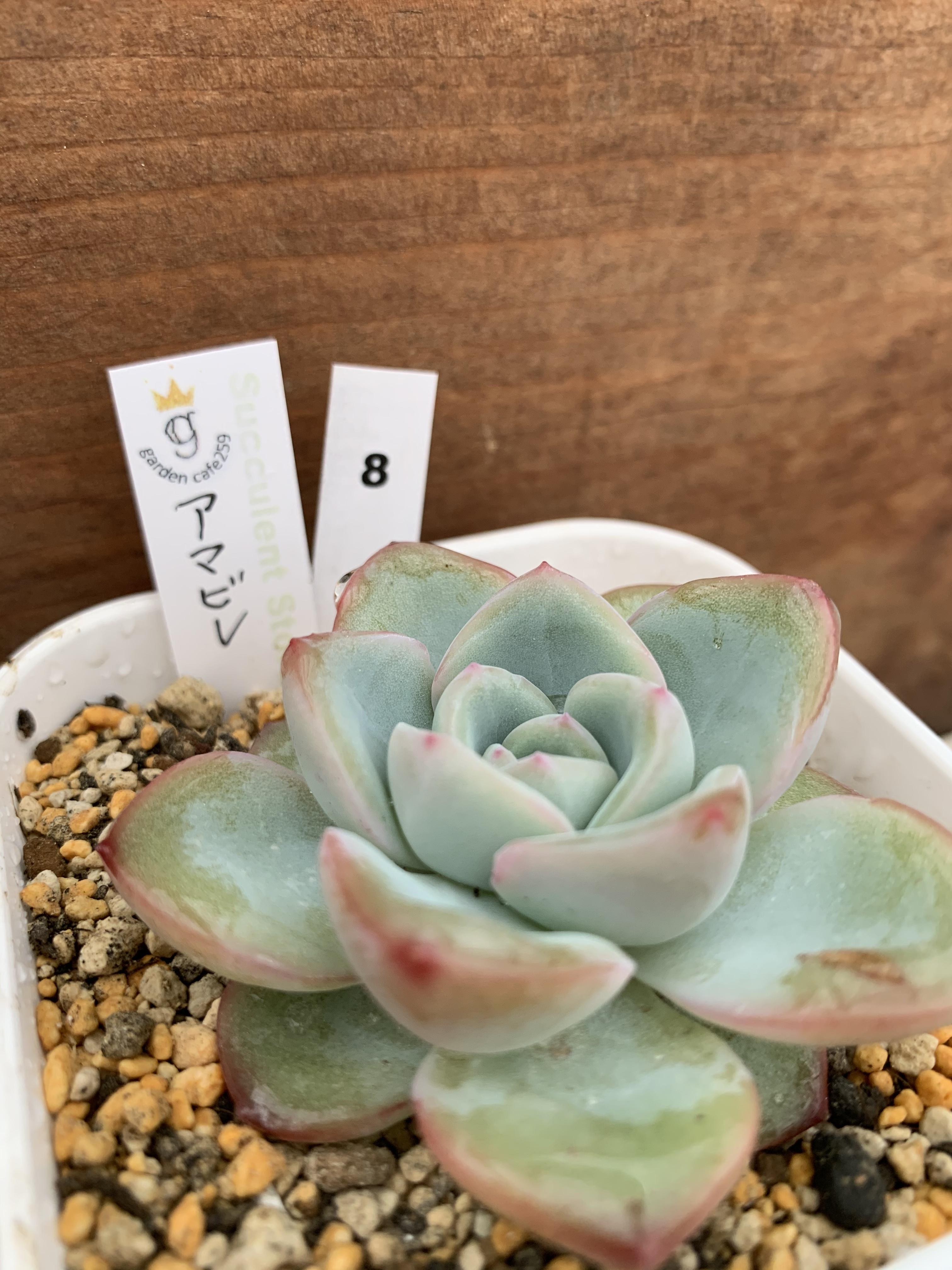 多肉植物 韓国苗 アマビレ☆ No.8