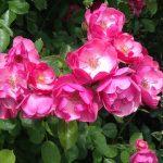 薔薇(ばら)『自己愛』 | 和樂フラワーエッセンス