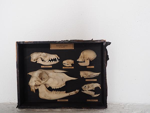動物頭部骨標本