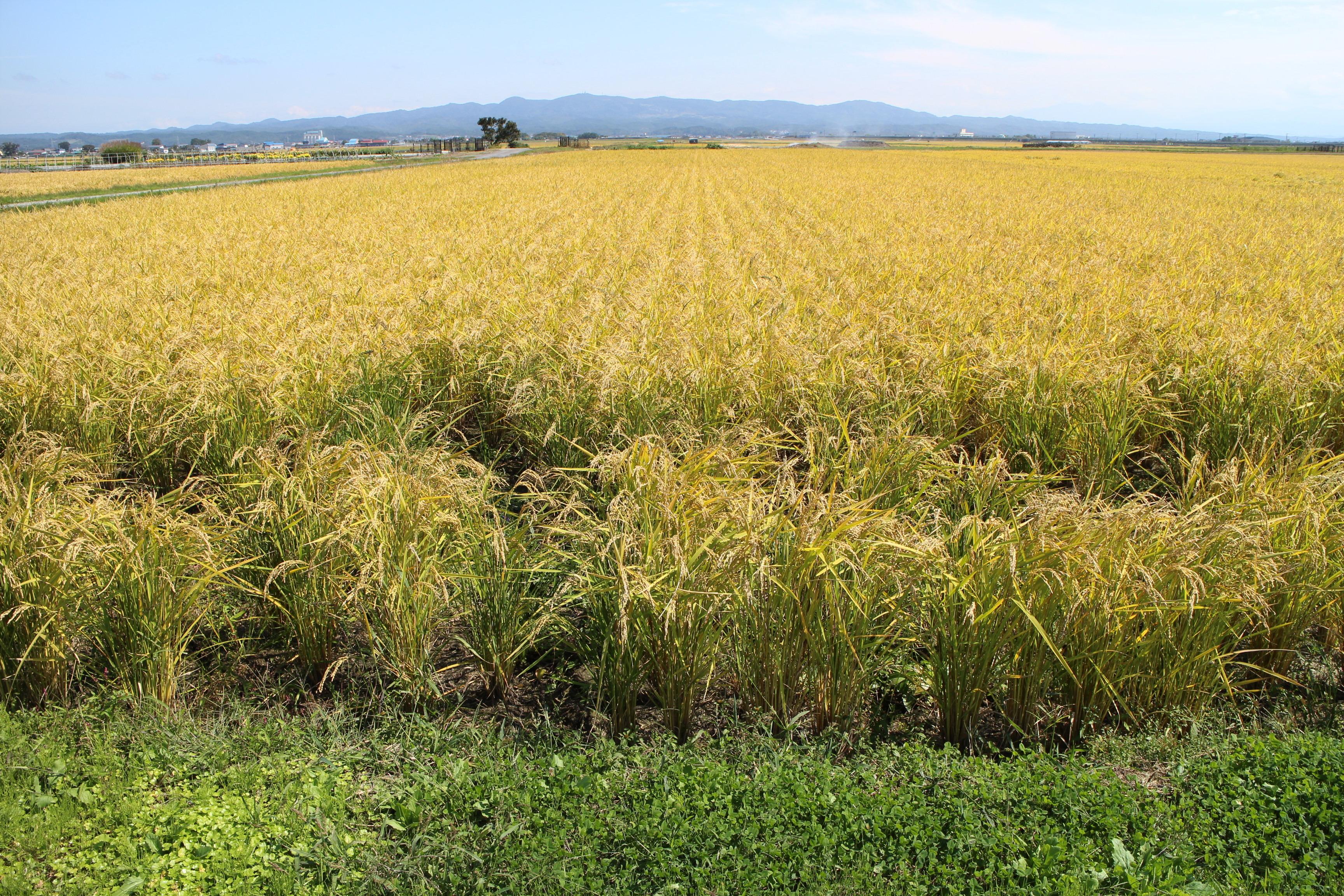 青森県産あきたこまち(無農薬・無化学肥料)玄米10キロ