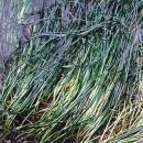 サーフグラス[Surfgrass]