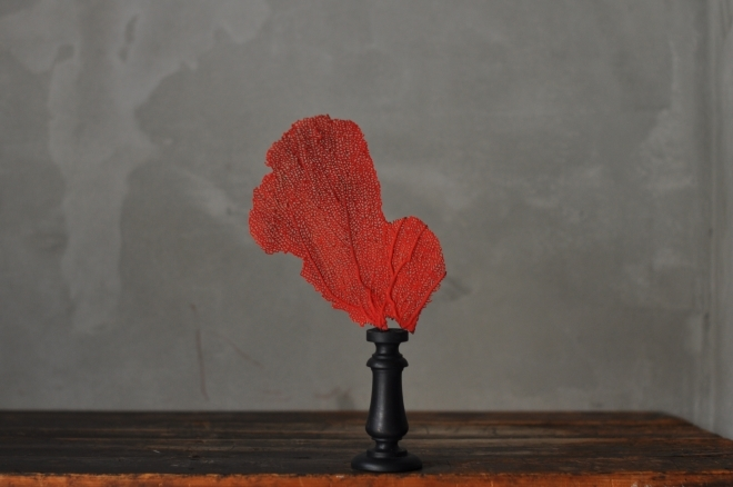 赤いウミウチワ