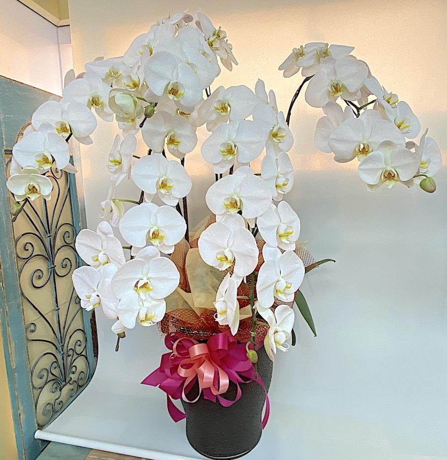 白胡蝶蘭5本立ち3Lサイズ