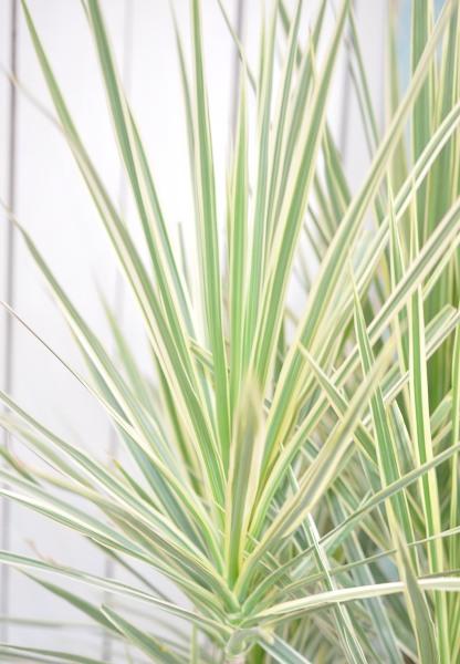 観葉植物 ホワイトアイボリー